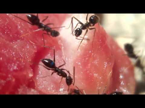 Thế giới động vật - Kiến ăn thịt :))