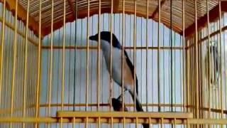 burung pentet si madu - YouTube.flv by akungjr
