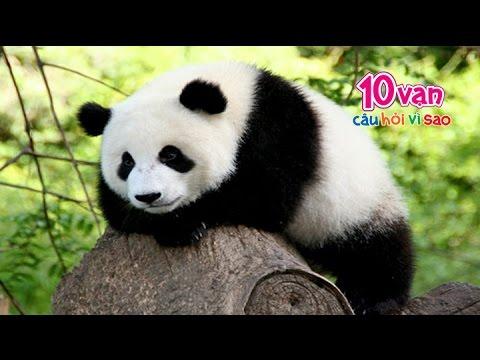 Tìm hiểu về loài Gấu trúc (10 vạn câu hỏi vì sao)