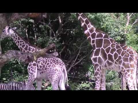 キリンの交尾。。。準備完了【天王寺動物園】Mating of giraffe [Tennoji Zoo]