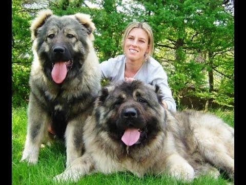 15 Giống Chó To Lớn Nhất Thế Giới 2015