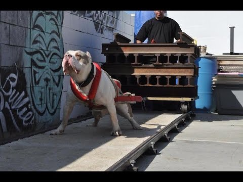 Pit Bull Weight Pulling
