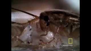 Hamam Böceği Belgeseli - İngilizce