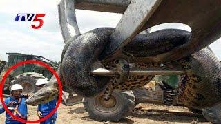 Terrifying 33ft Anaconda Caught in Brazil..