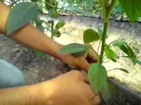 Manejo de pimientos en  Invernaderos