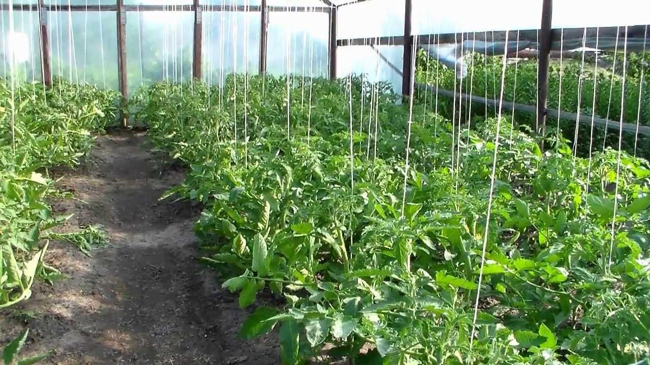 Можно ли сажать в теплице низкорослые помидоры 68