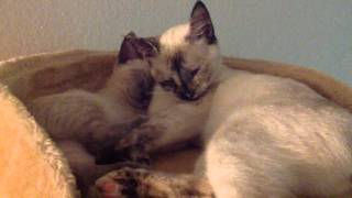 [(Snuggling) Siamese Cats] Video
