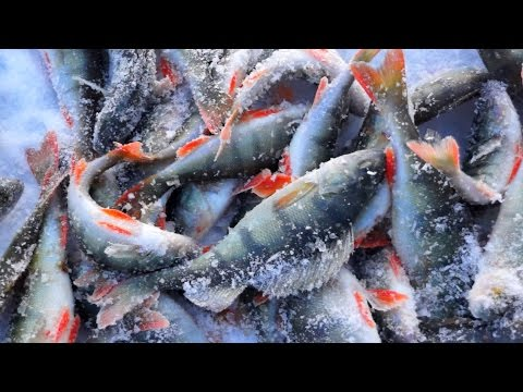 Окунь подо льдом залива, минифильм