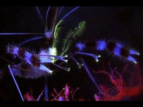 'Fluo banded coral shrimp' by Liquid Motion Film (National Geographic underwater series extract)
