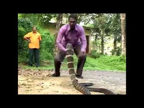 Những pha bắt rắn hổ mang chúa kinh điển nhất hành tinh