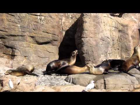 Sea lion intercourse (Impressive style)
