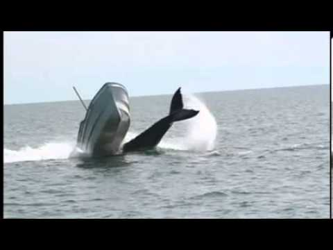 The incredible moment a humpback whale tips up a motor boat