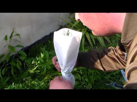 Innestare gli agrumi - Il sito degli Innesti