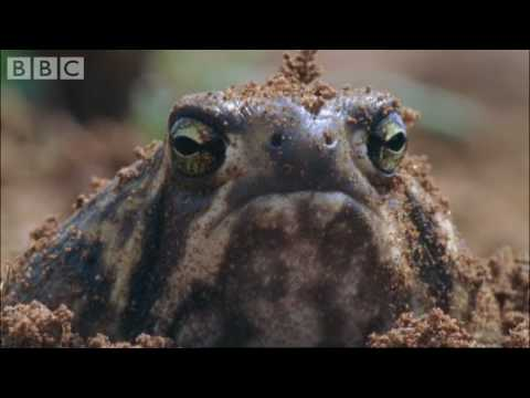 Amazing Rain Frogs