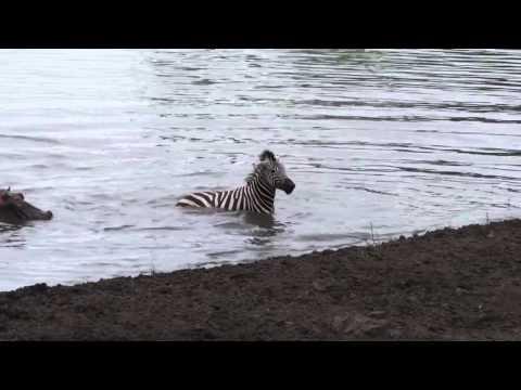 河馬在鱷魚口救斑馬