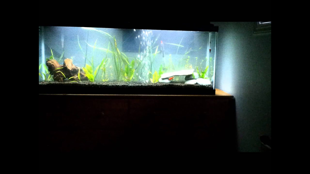 Freshwater fish 50 gallon tank 50 gallon planted for 50 gallon fish tank