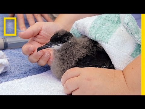 Endangered Baby Bird Rescued and Returned to the Sea | National Geographic