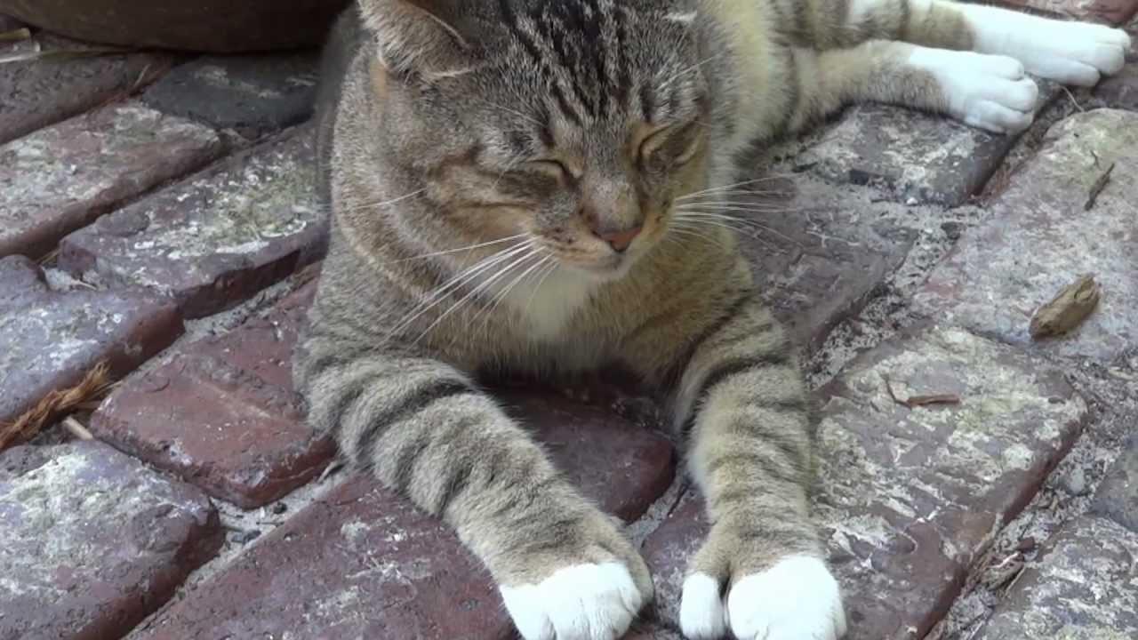 Ernest Hemingway House Polydactyl Cats