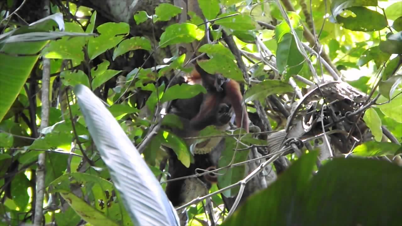 WOW VIDEO: Ular Boa Lahap Monyet di Atas Pohon