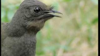 David Attenborough: The Lyrebird