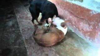 Pelea Sangrienta Entre Un Pitbull Y Un Rottweider