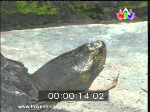 Cụ Rùa đen 12kg
