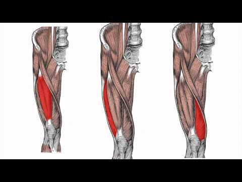 Anatomy of the Lower Limb - Part 1