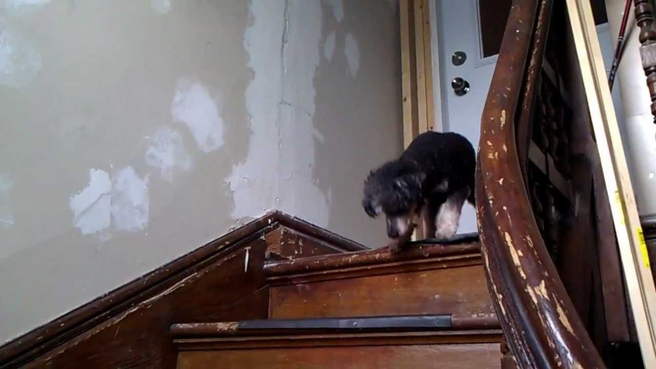 Dog Scared Of Stairs Funny Cute Youtube