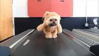 Shih Tzu in Ewok Cosplay on a Treadmill