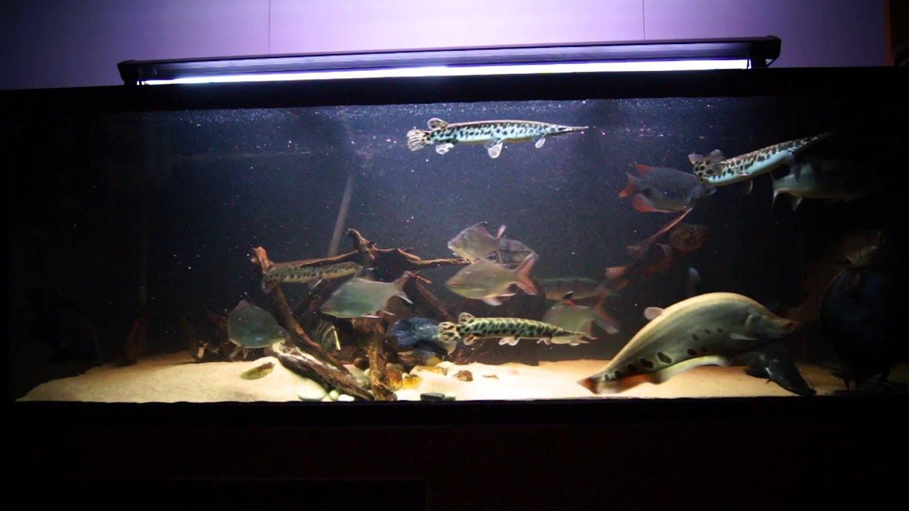 Aquarium milky carp fish - photo#5
