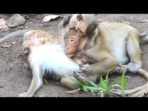 SP and other monkeys enjoy with their funny action and this simple life monkey