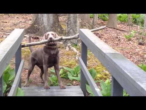 Кучето Тео има голем проблем: Како да го пренесе стапот преку мостот?