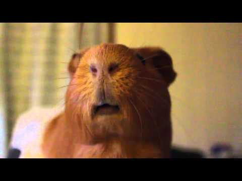 Guinea Pig Eating in Slow Motion