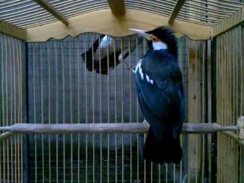 Burung Jalak Suren Jantan (16)