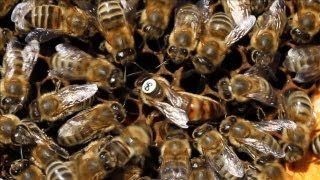 Bees Get Some Sexual Healing | The Science of Bee Sex