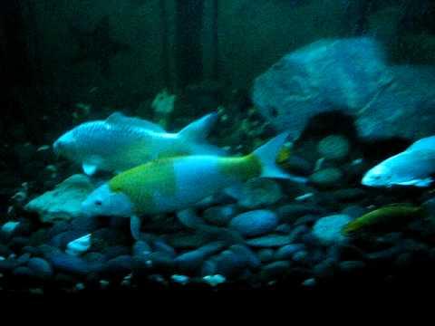 Koi fish breeding youtube for Raising koi fish