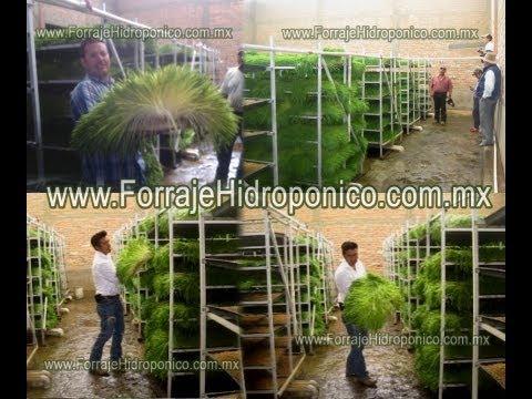 Forraje verde hidroponico, Ahorre dinero al alimentar su ganado!!!