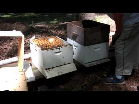 Requeening a Bee Hive