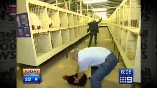 Reporter is terrified of rooster