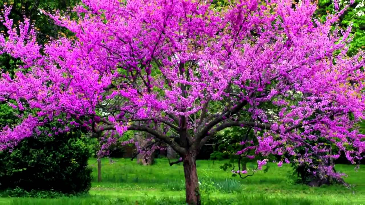 Redbud For Sale Online Wholesale Save 80