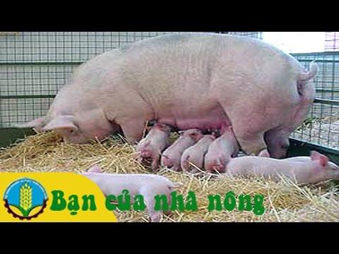 Mô hình, kỹ thuật nuôi lơn nái lái và lợn nái ngoại