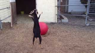 Goat Playing With A Yoga Ball