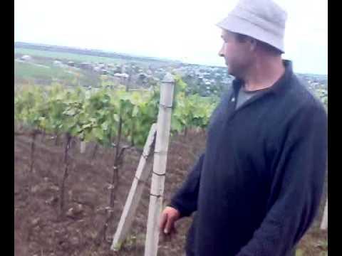 Саженцы винограда / Butasi de vita de vie