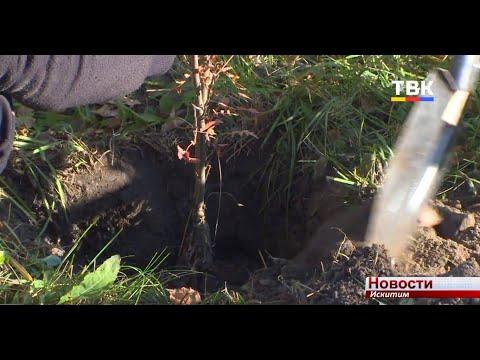 На Аллее Славы в микрорайоне Ложок посадили молодые ели
