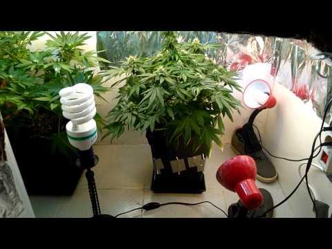 full organic cfl closet weed grow day 35