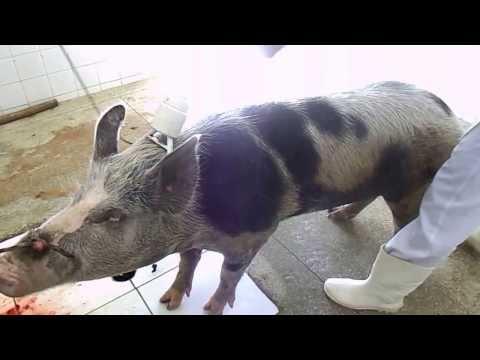Atordoamento de suíno no abatedouro de Lagoa Nova-RN