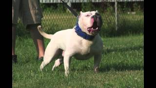 THE CLEAN EXTREME AMERICAN BULLY PITBULLPITKREW'S