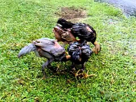 Ayam Siam - Baby MAGON