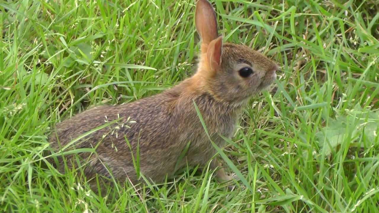 Wild baby rabbits