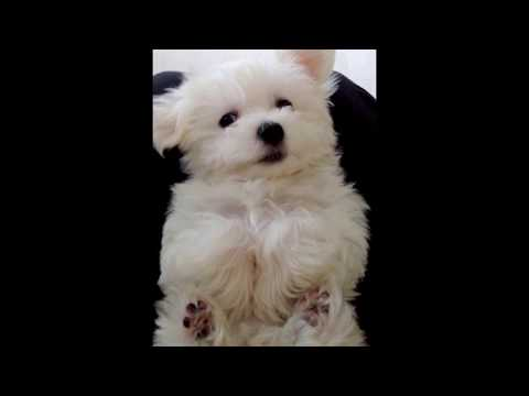 Extremely Adorable Maltese Puppy :)
